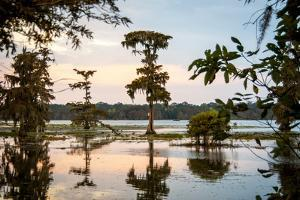 Bald Cypress at Sunset, Atchafalaya Basin, Louisiana, USA by Alison Jones