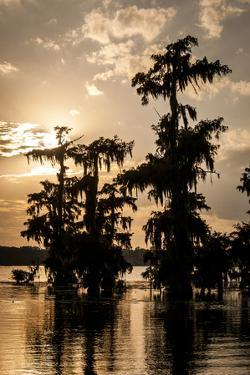 Bald Cypress in Water, Lake Martin, Atchafalaya Basin, Louisiana, USA by Alison Jones