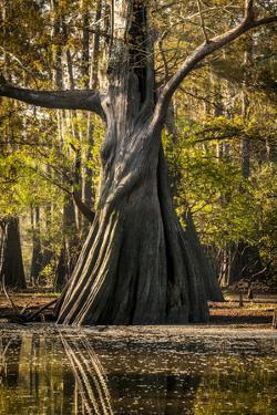 Bald Cypress in Water, Pierce Lake, Atchafalaya Basin, Louisiana, USA by Alison Jones
