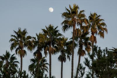 California, Santa Barbara, Bird Sanctuary at Full Moon, Palm Trees by Alison Jones