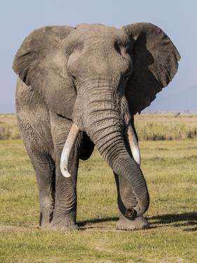 East Kenya, Amboseli National Park, Elephant (Loxodanta Africana) by Alison Jones