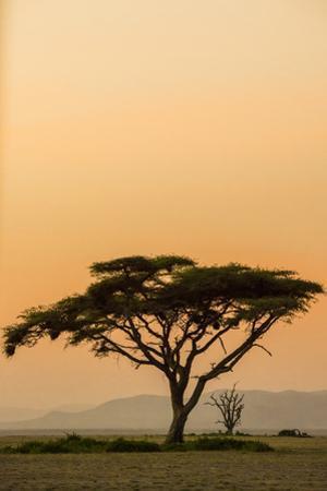 East Kenya, Amboseli NP, Sunset, Acacia Tree with Weaver Nests by Alison Jones