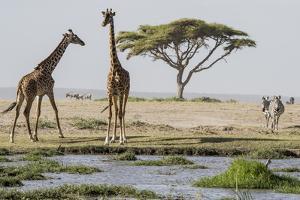 East Kenya, Outside Amboseli NP, Pair of Maasai Giraffe at Waterhole by Alison Jones