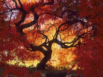 Japanese Maple, Darien, Connecticut, USA by Alison Jones