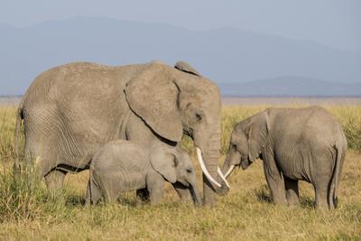 Kenya, Amboseli National Park, Elephant (Loxodanta Africana)