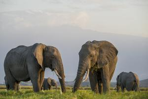 Kenya, Amboseli National Park, Elephant by Alison Jones