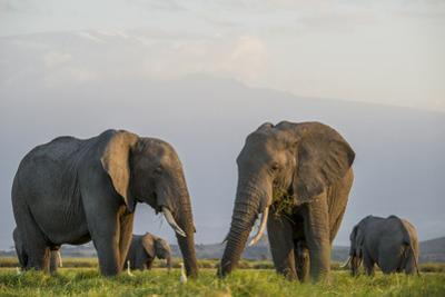 Kenya, Amboseli National Park, Elephant