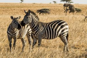 Kenya, Chyulu Hills, Mbirikani, Pair of Burchell's Zebra by Alison Jones