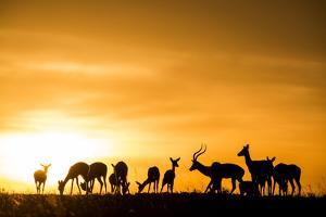 Kenya, Maasai Mara, Mara Triangle, Mara River Basin, Impalas at Sunset by Alison Jones