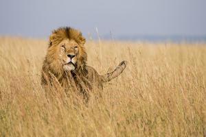 Kenya, Maasai Mara, Mara Triangle, Mara River Basin, Lion in the Grass by Alison Jones