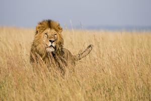 Kenya, Maasai Mara, Mara Triangle, Mara River Basin, Lion in the Grass by Alison Jones