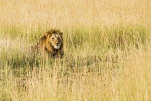 Kenya, Maasai Mara, Mara Triangle, Mara River Basin, Male Lion by Alison Jones