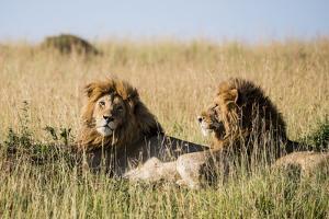 Kenya, Maasai Mara, Mara Triangle, Mara River Basin, Two Lions by Alison Jones