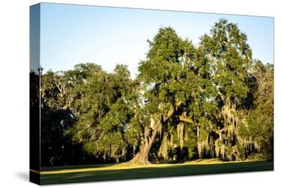 Live Oak with Spanish Moss, Atchafalaya Basin, Louisiana, USA