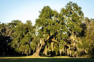 Live Oak with Spanish Moss, Atchafalaya Basin, Louisiana, USA by Alison Jones