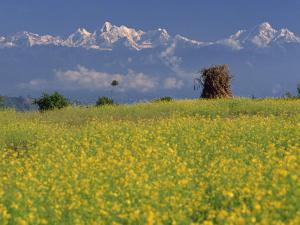Landscape of Yellow Flowers of Mustard Crop the Himalayas in the Background, Kathmandu, Nepal by Alison Wright