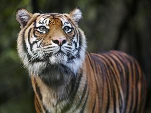 Sumatran Tiger by Allan Baxter
