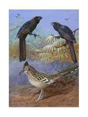 A Painting of a Smooth-Billed Ani, Groove-Billed Ani and a Roadrunner by Allan Brooks