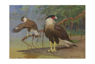 A Painting of an Adult and an Immature Audubon's Caracara