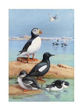 A Painting of an Atlantic Puffin, Black Guillemots, and Dovekies by Allan Brooks