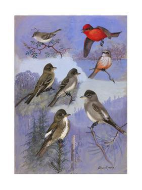 A Painting of Flycatchers and Wood-Pewees Perching and Flying by Allan Brooks