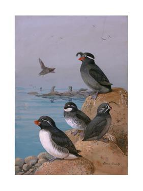 A Painting of Four Different Species of Auklet by Allan Brooks