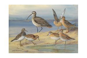A Painting of Pairs of Several Species of Sandpiper and a Curlew by Allan Brooks