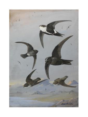 A Painting of Several Species of Swift Flying Together by Allan Brooks