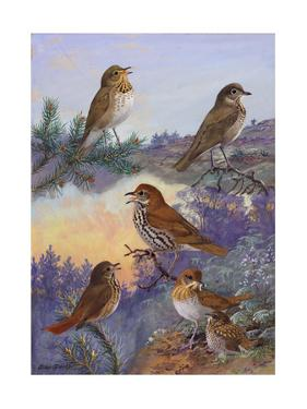 A Painting of Several Species of Thrush and Veery by Allan Brooks