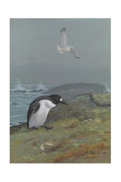 A Painting of The, Now Extinct, Great Auk by Allan Brooks