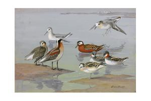 A Painting of Three Species of Phalaropes by Allan Brooks