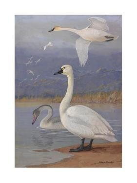A Painting of Trumpeter Swans and Whistling Swans by Allan Brooks