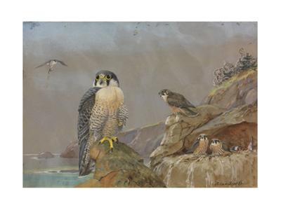 A Painting of Two Adult Peregrine Falcons and their Young