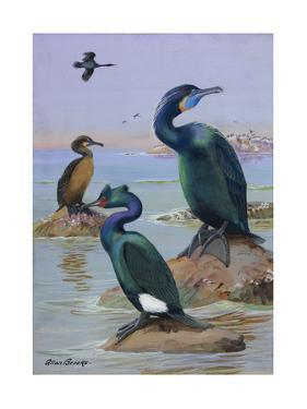 A Painting of Two Brandt's Cormorants and a Pelagic Cormorant by Allan Brooks