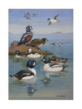 A Painting of Two Species of Golden-Eye and Buffleheads by Allan Brooks