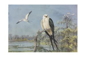 A Painting of Two Swallow-Tailed Kites by Allan Brooks