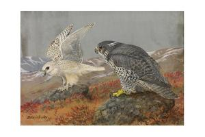 A Painting of Young White and Adult Black Gyrfalcons by Allan Brooks