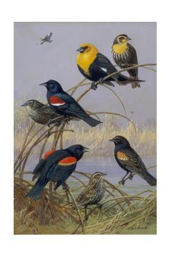 Blackbirds and Orioles Perched on Twigs Near Water by Allan Brooks