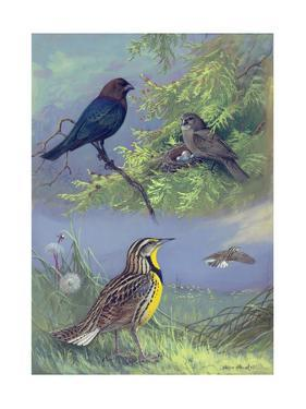 Painting of an Eastern Cowbird Pair and Eastern Meadowlarks by Allan Brooks