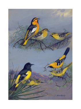 Painting of Several Oriole Species by Allan Brooks