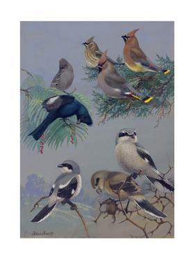 Painting of Songbirds Including Shrikes, Waxwings, and Phainopeplas by Allan Brooks