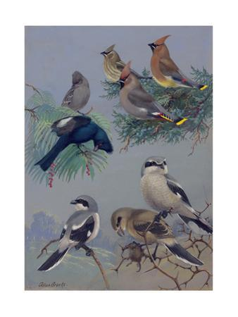 Painting of Songbirds Including Shrikes, Waxwings, and Phainopeplas