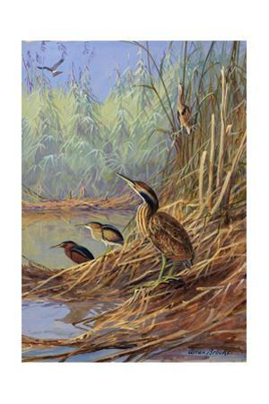 The Brown Feathers of Bitterns Blend with the Variegated Surrounding by Allan Brooks