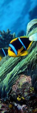 Allard's Anemonefish in the Ocean