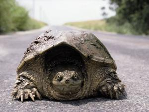 Alligator Snapping Turtle in the Road, Oklahoma by Allen Russell