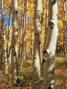 Aspen (Populus Tremuloides) Trees by Allen Russell