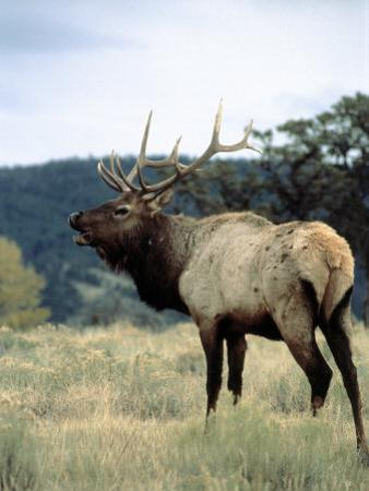 Bull Elk Bugling, Yellowstone National Park, WY