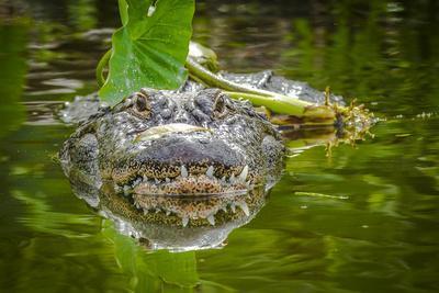 https://imgc.allpostersimages.com/img/posters/alligator-2_u-L-Q10PFK20.jpg?p=0