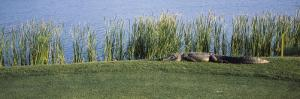 Alligator Resting on a Golf Course, Kiawah Island, Charleston County, South Carolina, USA