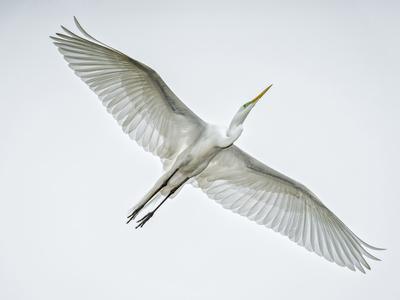 https://imgc.allpostersimages.com/img/posters/alligator-zoo-st-augustine-florida-great-egret-in-flight_u-L-PXRV4Z0.jpg?p=0